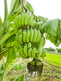 Banana bunch on tree in the garden,Thailand Stock Image