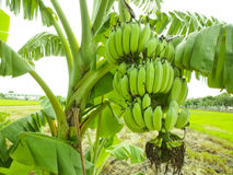 Banana bunch on tree in the garden,Thailand Royalty Free Stock Photo