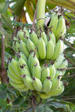 Banana bunch on tree Stock Photos