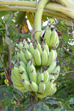 Banana bunch on tree Royalty Free Stock Images