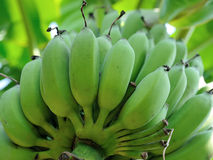 Banana bunch on tree in the garden Royalty Free Stock Image