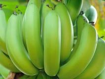 Banana bunch on tree in the garden Stock Photos