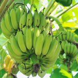 Banana bunch on tree in the garden Stock Images