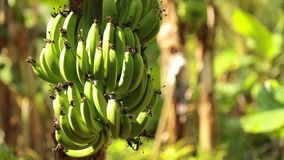 Banana Bunch On Tree Plantation HD Footage. Bananas growing in a field being blown in the wind on banana tree plantation farmland central Vietnam, high stock video footage