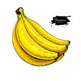 Banana bunch vector drawing. Isolated hand drawn object on white background. Summer fruit artistic Royalty Free Stock Photos