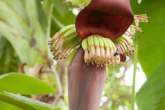 Banana bunch and wasp in thailand, Select focus, Natural backgro Stock Images