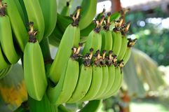 Banana Bunches Stock Image