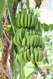 Banana che cresce sull'albero Fotografia Stock Libera da Diritti