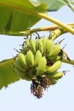 Banana. Close up Bunch of bananas on tree stock photo