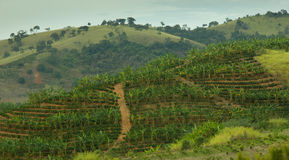 Banana and Coffee Plantation Stock Photos