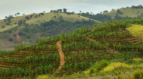 Banana and Coffee Plantation Royalty Free Stock Image