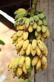 Banana coltivata Fotografie Stock