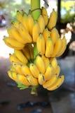 Banana coltivata nel tThailand Immagine Stock Libera da Diritti