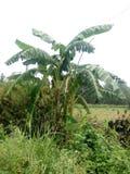 Banana con i cespugli verdi Immagini Stock Libere da Diritti
