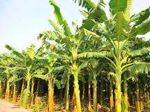 Banana crops. In line at farm Royalty Free Stock Images