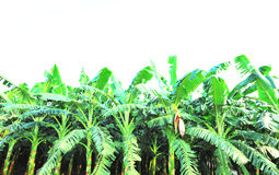 Banana crops Royalty Free Stock Photos