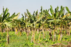 Banana crops, Myanmar Stock Images