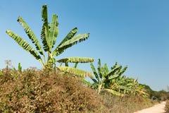Banana crops, Myanmar Stock Photos