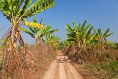 Banana crops, Myanmar Stock Photo