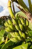 Banana crua verde na árvore de banana Fotos de Stock Royalty Free