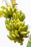 Banana cruda verde del pacco Immagine Stock
