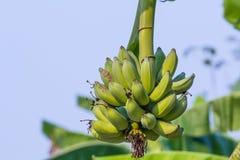 Banana cruda verde del pacco Fotografie Stock