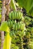 Banana cruda verde del pacco Fotografia Stock