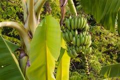 Banana cruda verde del pacco Immagini Stock