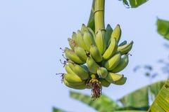 Banana cruda verde del pacco Immagini Stock Libere da Diritti