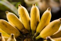 Banana cultivada Imagem de Stock