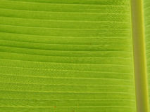 Banana da folha do teste padrão Fotografia de Stock Royalty Free
