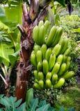 Banana dal frutteto di Tenerife immagine stock libera da diritti
