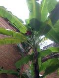 Banana degli alberi Immagini Stock
