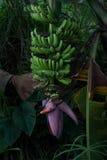 Banana di Blosoming Immagine Stock