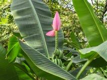 Banana di fioritura Fotografie Stock