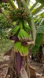 banana dof zieleni płycizny drzewo Bananowy błoto Bananowy kwiat Bananowy miód Zielony bannana Fotografia Royalty Free