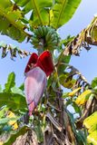 Banana ed il fiore fotografia stock