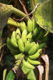 Banana. A banana is an edible fruit, botanically a berry,produced by several kinds of large herbaceous flowering plants in the genus Musa.(In some countries Stock Image