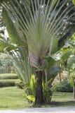 Banana ESPECTACULAR da árvore da palma do viajante fotografia de stock