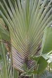 Banana ESPECTACULAR da árvore da palma do viajante imagens de stock royalty free