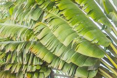 Free Banana Fan Leaves Pattern Background. Beautiful Texture Of Traveller S Tree (Ravenala Madagascariensis Sonn) Green Leaves Backgro Royalty Free Stock Photography - 124128387