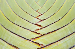 BANANA FAN TREE OR TEXTURE OF TRAVELLER'S TREE Royalty Free Stock Images