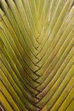 Banana fancy tree Stock Photography