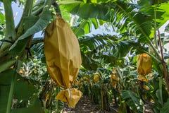 Banana farm Stock Images