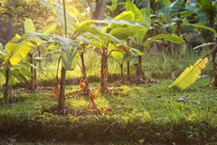 Banana farm at sunset, Thailand. Small banana trees and foliage leaf against sunset light. Agriculture farm in Thailand stock images