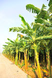 Banana field Royalty Free Stock Images