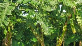 Banana field,banana farm. stock footage