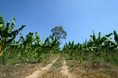 A banana field Stock Image