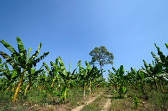 A banana field Stock Photos