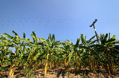 A banana field Royalty Free Stock Photography